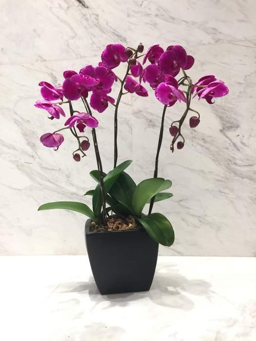 Triple Purple Magenta Orchid