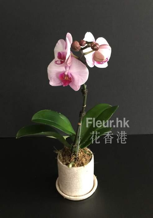 solo phalaenopsis orchid plant